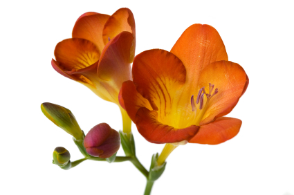 Healing Light Online Psychic Readings and Merchandise Freesia Fragrance Oil